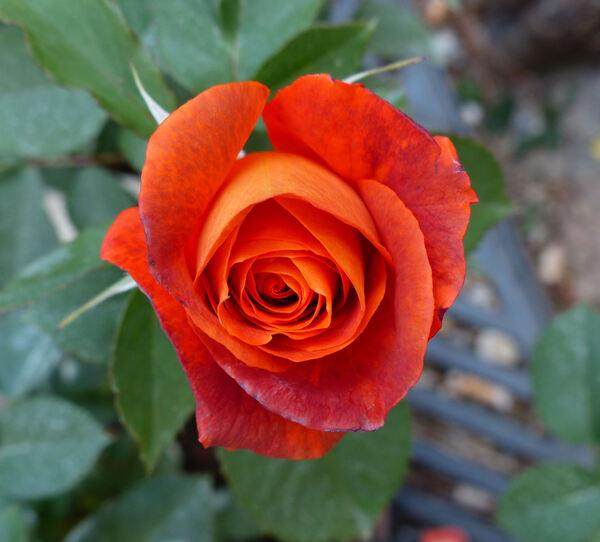 Rosa 'Super Trouper'