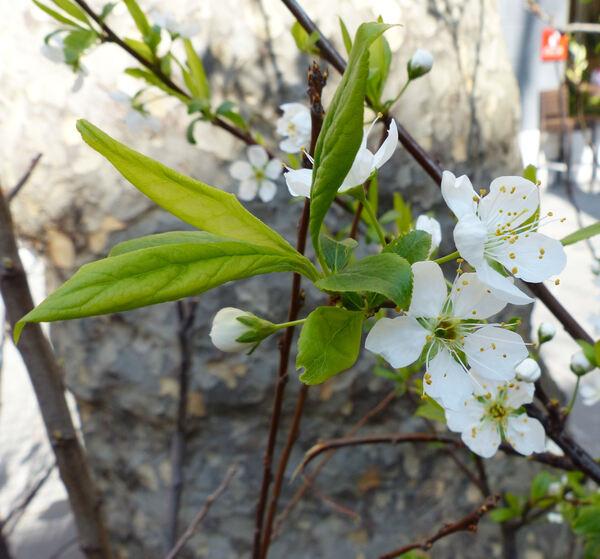 Prunus domestica L. 'Formosa'