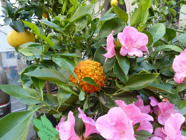 Citrus x sinensis (L.) Osbeck 'Corrugato'