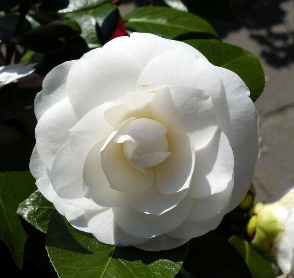 Camellia japonica L. 'Nuccio's Gem'