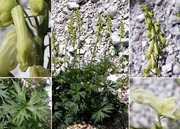 Aconitum ranunculifolium Rchb.