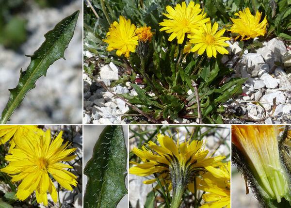 Crepis terglouensis (Hacq.) A.Kern.