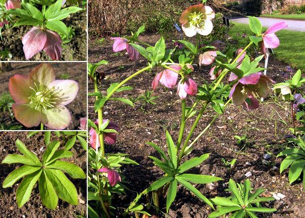 Helleborus dumetorum Waldst. & Kit. subsp. atrorubens (Waldst. & Kit.) Merxm. & Podlech
