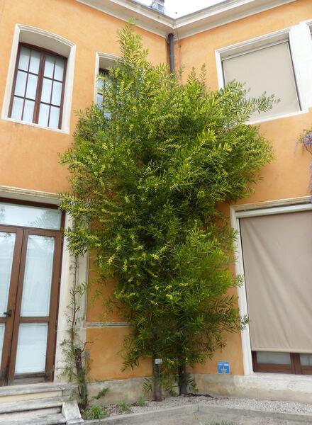 Acacia longifolia (Andrews) Willd.