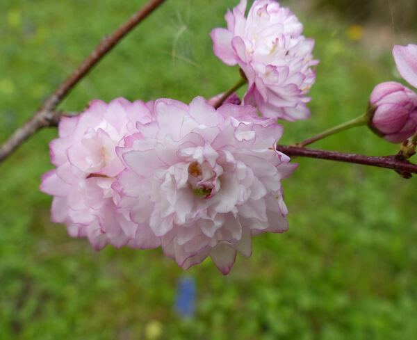 Prunus japonica Thunb. 'Flore Pleno'