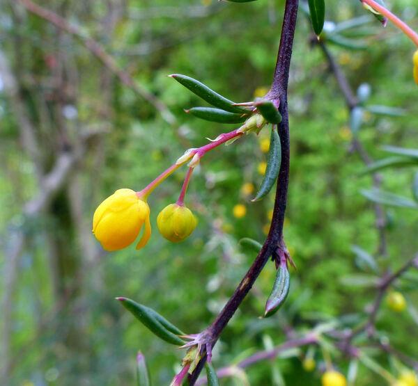 Berberis lepidifolia Ahrendt