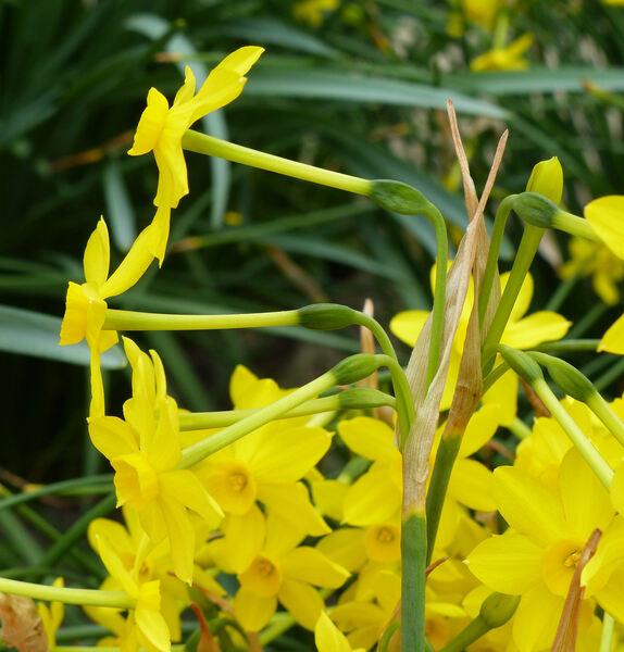 Narcissus jonquilla L. subsp. jonquilla