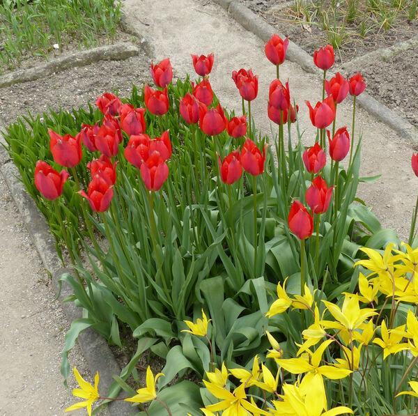 Tulipa agenensis Redouté