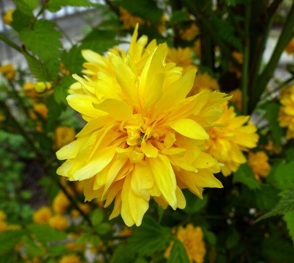 Kerria japonica (L.) DC. 'Flore Pleno'