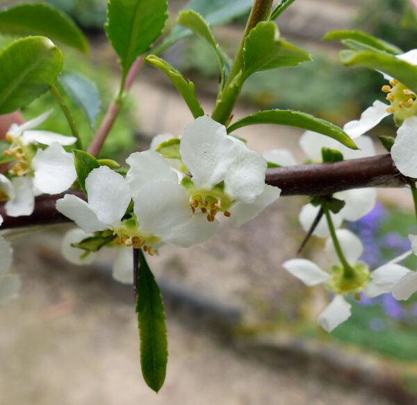 Prinsepia uniflora Batalin