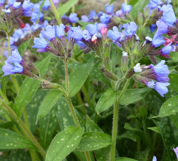 Pulmonaria angustifolia L. 'Bentl's Blue'