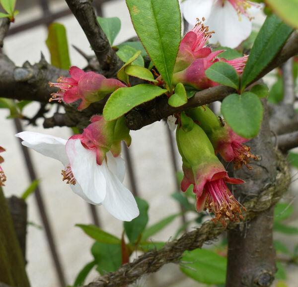 Chaenomeles japonica (Thunb.) Lindl. ex Spach 'Roseo-Alba'