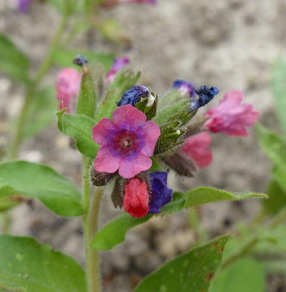 Pulmonaria vallarsae A.Kern. subsp. vallarsae