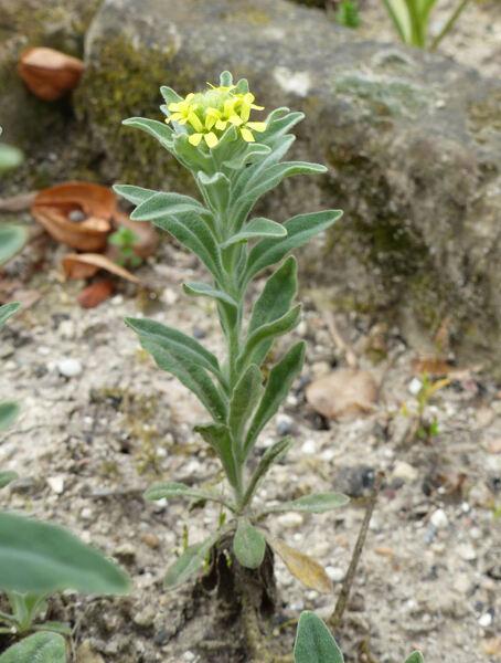 Fibigia clypeata (L.) Medik. subsp. clypeata