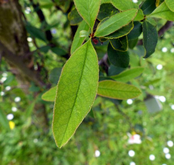 Chaenomeles cathayensis (Hemsl.) C.K.Schneid.