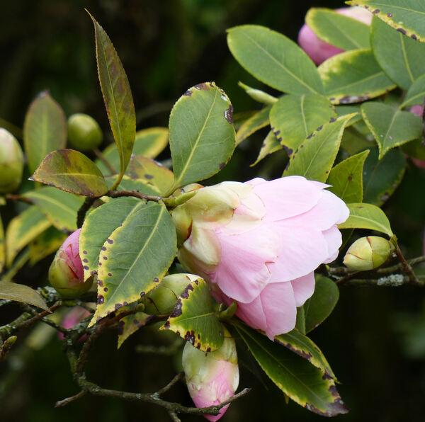 Camellia x williamsii hort. 'Citation'