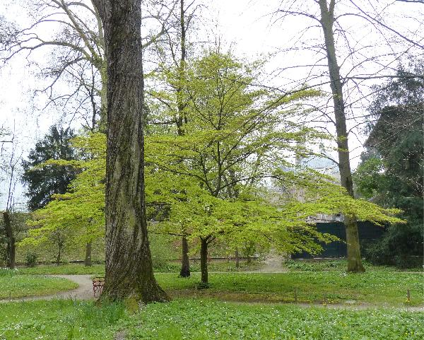 Acer palmatum Thunb.