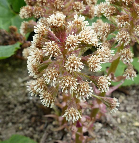 Petasites hybridus (L.) G.Gaertn., B.Mey. & Scherb. subsp. hybridus