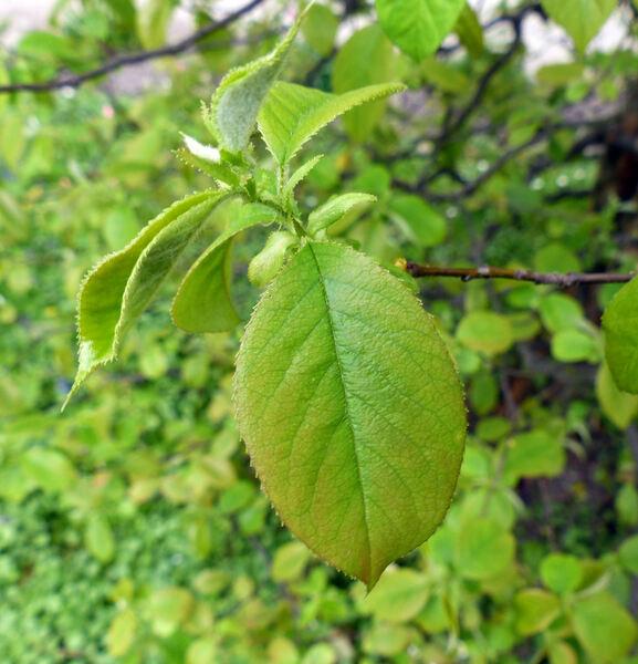 Pyrus sinensis Lindl.
