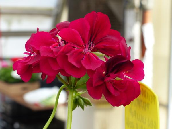 Pelargonium peltatum (L.) Aiton 'Lollipop Purple Nova'