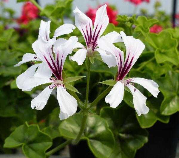 Pelargonium peltatum (L.) Aiton 'Top Biancaneve'