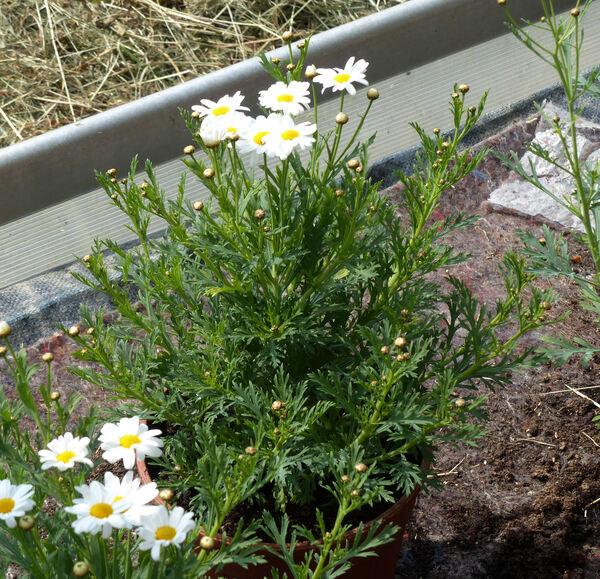 Argyranthemum 'Dana'