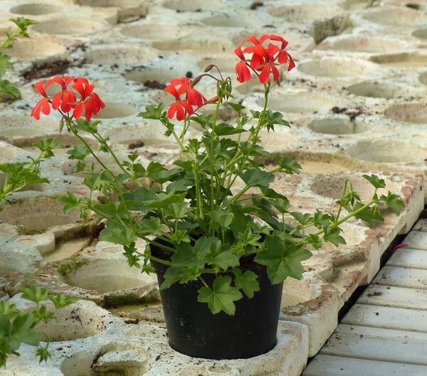 Pelargonium peltatum (L.) Aiton 'Mini Balcon'