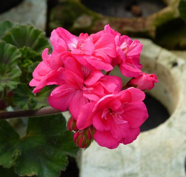Pelargonium zonale (L.) L'Hér. 'Belmonte Hot Pink'