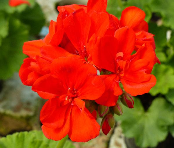 Pelargonium zonale (L.) L'Hér. 'Othello'
