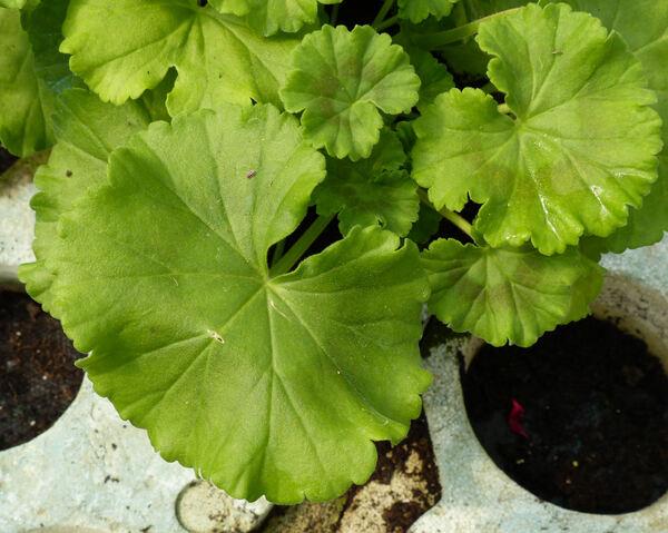 Pelargonium zonale (L.) L'Hér. 'Francesco'