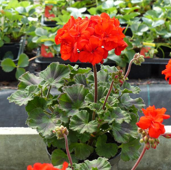 Pelargonium zonale (L.) L'Hér. 'Belmonte Red'