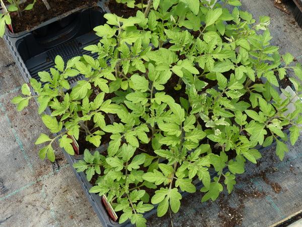 Solanum lycopersicum L. 'Datterino Fiolin'