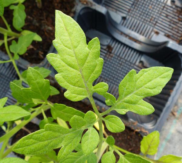 Solanum lycopersicum L. 'Chipano'