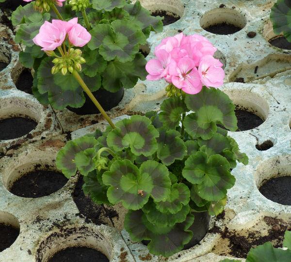 Pelargonium zonale (L.) L'Hér. 'Green Series Apple Blossom'