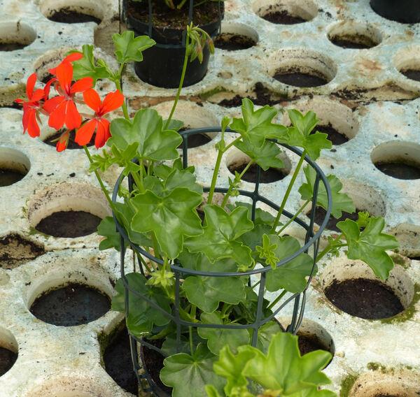Pelargonium peltatum (L.) Aiton 'Ville de Paris'