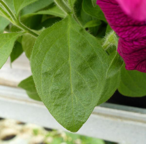 Petunia 'Potunia Plus Purple'