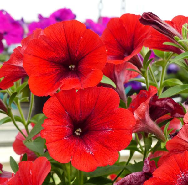Petunia 'Potunia Red 2016'