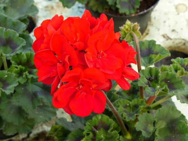 Pelargonium zonale (L.) L'Hér. 'Savannah Really Red'