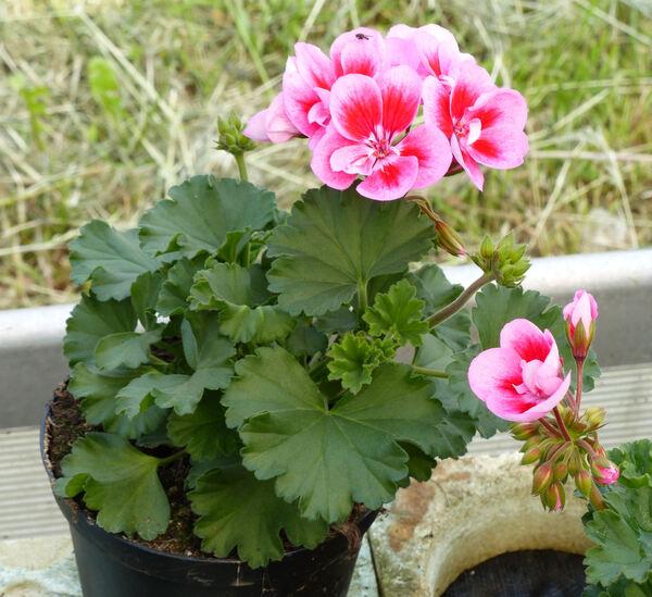 Pelargonium zonale (L.) L'Hér. 'Savannah Pink Mega Splash'