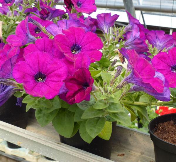 Petunia 'Surprise Purple'