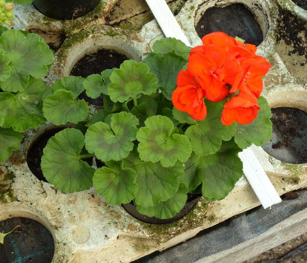 Pelargonium zonale (L.) L'Hér. 'Green Series Andra'
