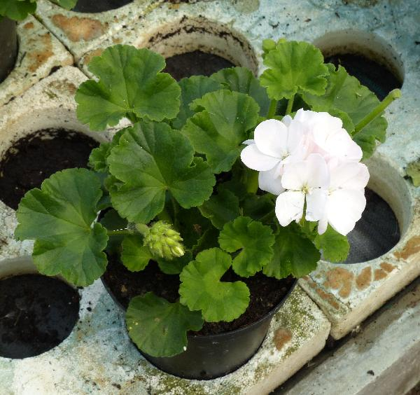 Pelargonium zonale (L.) L'Hér. 'Pinnacle White'
