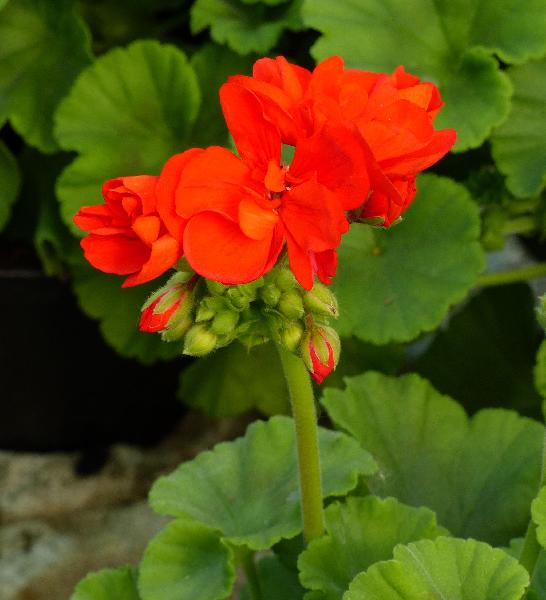 Pelargonium zonale (L.) L'Hér. 'Pinnacle Red'