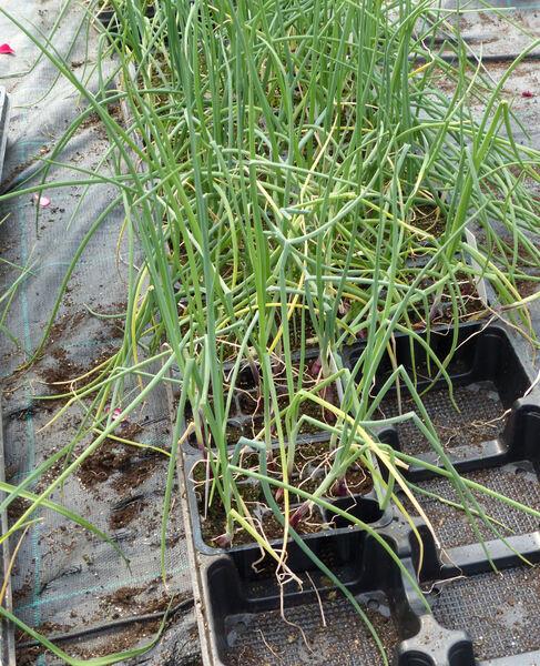 Allium cepa L.