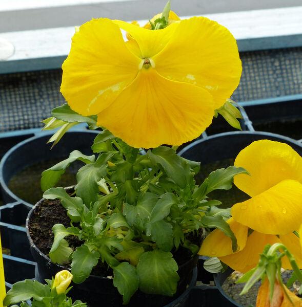 Viola cornuta L. 'Jumbo'