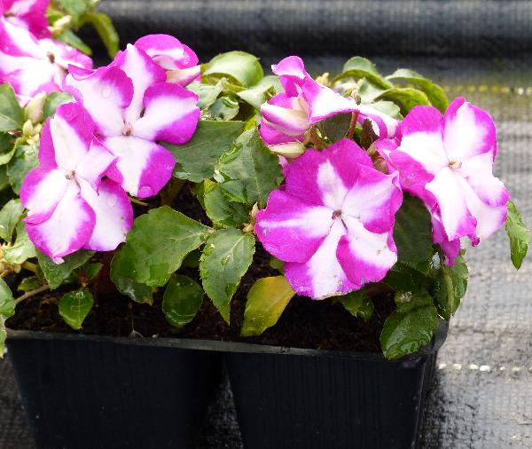 Impatiens walleriana Hook.f. 'Folletto Violetto-Bianco'