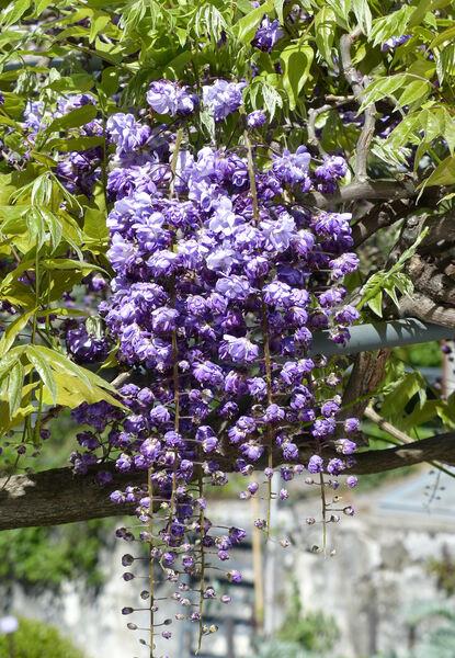 Wisteria floribunda (Willd.) DC. 'Violacea Plena'