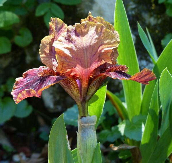 Iris 'Death by Chocolate'