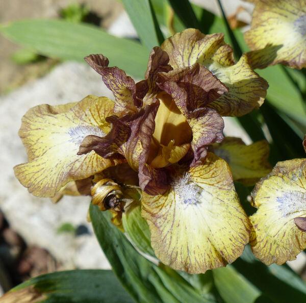 Iris 'Cuore'