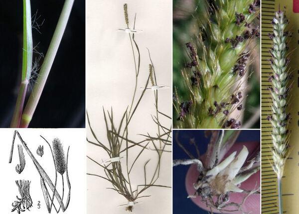 Setaria parviflora (Poir.) Kerguélen